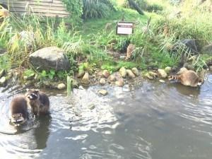 Rotterdam Zoo Beavers