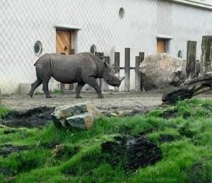Rotterdam Zoo Rhino