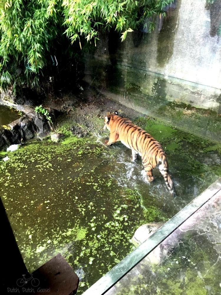 Rotterdam Zoo Tiger