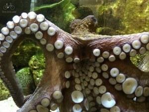 Antwerp Zoo Octopus