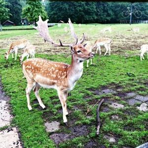 Deer at Deer Park in Delft