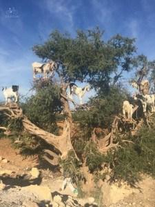 Essaouira Goats in a Tree