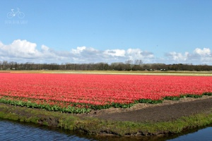 Red Tulips Flower Fields