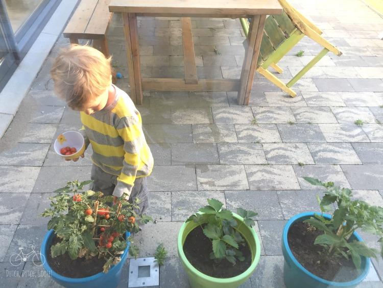 AH Garden Harvesting the Tomatoes