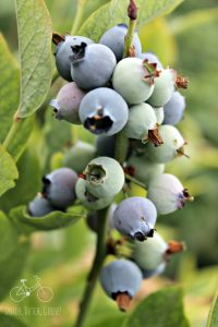 Blueberry Netherlands