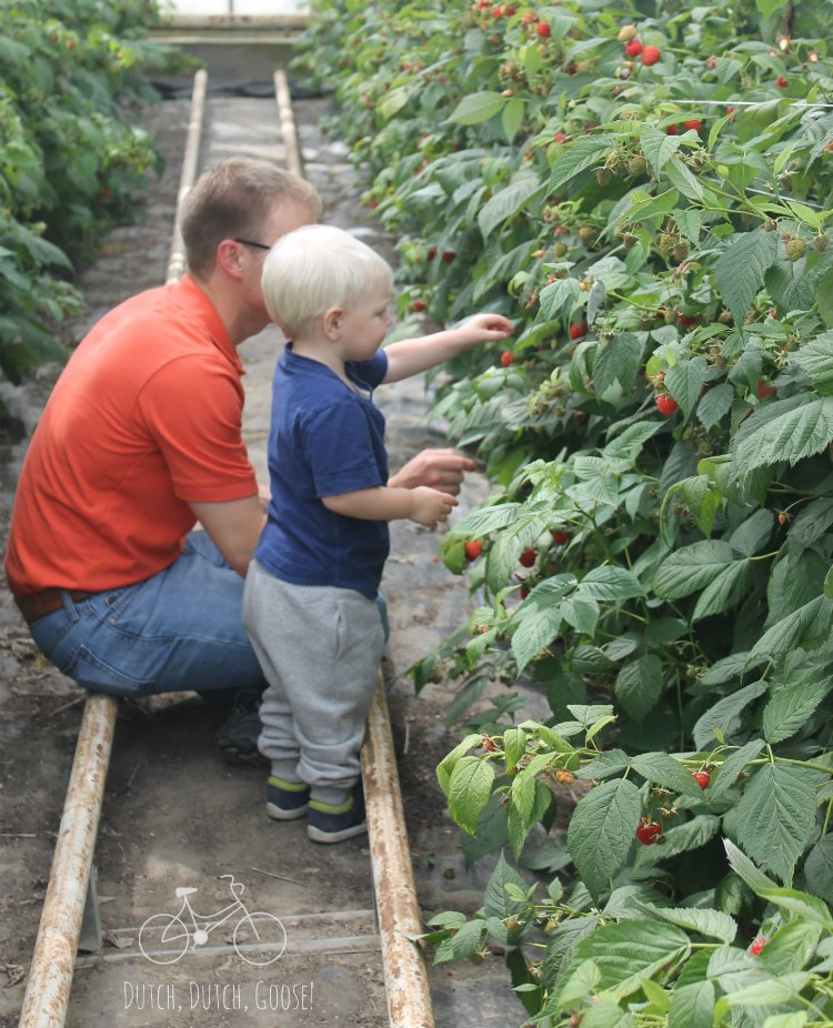 Raspberry Picking Netherlands Greenhouse