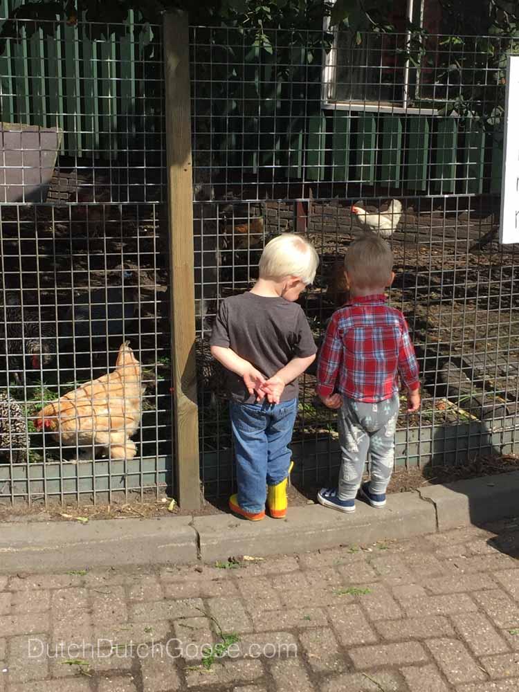 Chikens at Farm