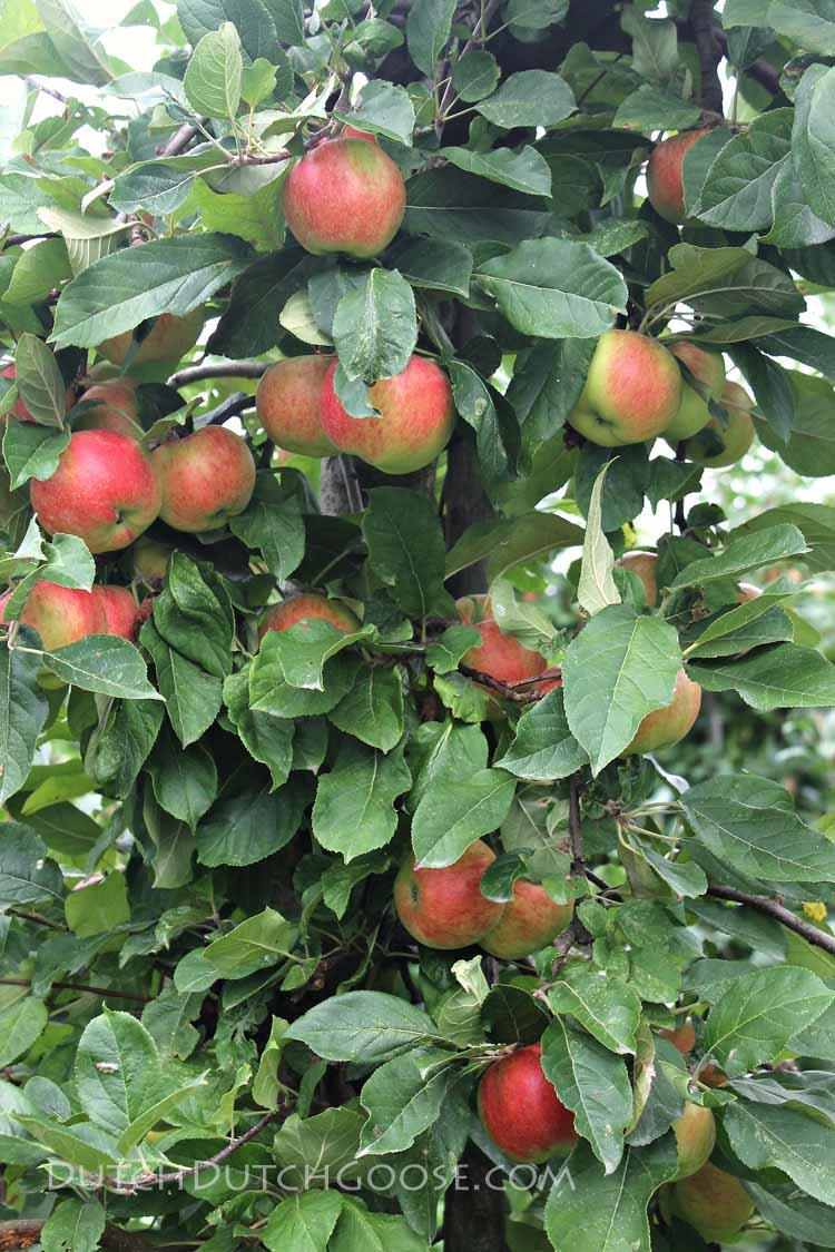 netherlands-apple-tree