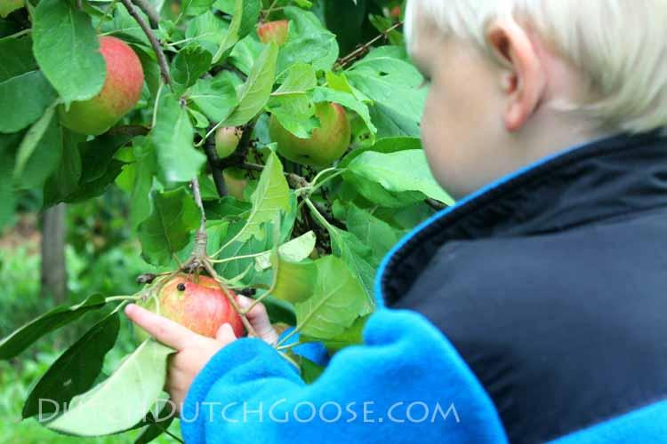 pick-a-dutch-apple
